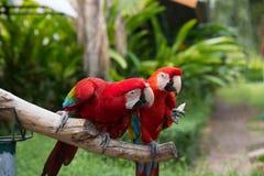 Um par papagaio do Miliampère-núcleo fotografia de stock