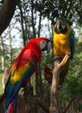 Um par papagaios brilhantes Imagem de Stock