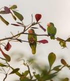 Um par papagaios cubanos das Amazonas Fotografia de Stock Royalty Free