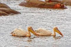 Um par pelicanos Fotos de Stock