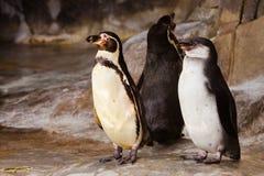 Um par pinguins encantadores estão em posturas idênticas em pássaros assustadores do divertimento fotos de stock
