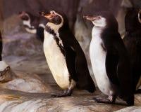 Um par pinguins encantadores est?o em posturas id?nticas em p?ssaros assustadores do divertimento imagem de stock