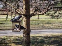 Um par pombos estão esperando o alimento em um alimentador para pássaros imagem de stock royalty free