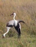 Um par Waddled Cranes em Botswana África Imagem de Stock