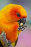 Um Parakeet amarelo foto de stock royalty free