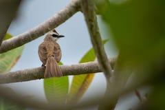 um pardal de casa marrom branco com os olhos roxos empoleirados no ramo de árvore foto de stock royalty free