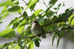 Um pardal em uma árvore Foto de Stock
