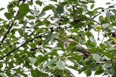 Um pardal que come a cereja Fotos de Stock Royalty Free