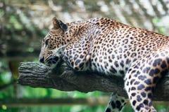 Um pardus do Panthera da pantera do leopardo ao descansar em um ramo de árvore fotografia de stock