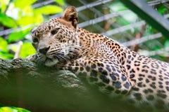 Um pardus do Panthera da pantera do leopardo ao descansar em um ramo de árvore imagem de stock royalty free