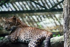Um pardus do Panthera da pantera do leopardo ao descansar em um ramo de árvore imagem de stock