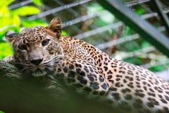 Um pardus do Panthera da pantera do leopardo ao descansar em um ramo de árvore foto de stock royalty free