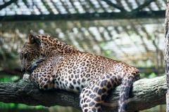 Um pardus do Panthera da pantera do leopardo ao descansar em um ramo de árvore imagens de stock