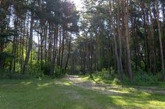 Um parque obscuro do verão com os troncos de árvores altas, de arbustos e de grama Fotos de Stock Royalty Free