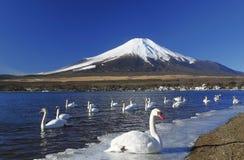 Um partido da cisne na frente de Mt.Fuji Fotos de Stock
