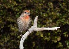 Um passarinho de casa está sentando-se no ramo com ele é principal inclinado ao lado quando as folhas verdes compuserem o fundo fotografia de stock