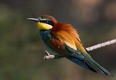 Um passarinho do abelha-comedor Fotografia de Stock