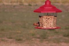 Um passarinho masculino da casa que come sementes Fotos de Stock