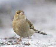 Um passarinho que senta-se no gelo Fotografia de Stock Royalty Free