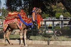Um passeio do camelo em Udaipur, Rajasthan, Índia imagem de stock