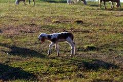 Um passeio do cordeiro Foto de Stock