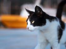 Um passeio preto e branco irritado do gato fotografia de stock royalty free