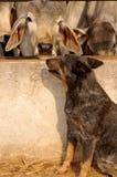 Um pastor australiano que guarda um Brahman Fotos de Stock Royalty Free