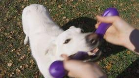 Um pastor suíço branco energético puxa um brinquedo de borracha azul de seu mestre filme