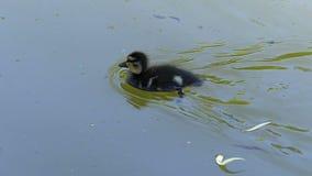 Um patinho engraçado nada a seu pato da mãe em águas verdes do lago video estoque