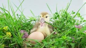 Um patinho pequeno que senta-se perto do ovo e que come uma haste da grama vídeos de arquivo