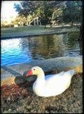 Um pato branco imagens de stock royalty free