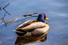 Um pato colorido foto de stock royalty free