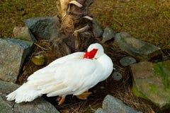 Um pato com um olho vermelho em um jardim zoológico foto de stock royalty free