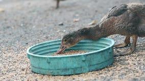 Um pato come a grão Patos domésticos de alimentação na exploração agrícola de Tailândia vídeos de arquivo