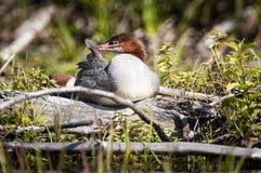 Um pato comum do merganso que descansa nas costas de um lago imagem de stock