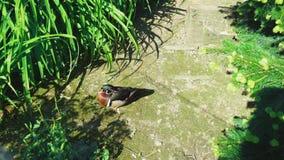 Um pato de madeira masculino colorido anda ao longo de um trajeto entre a grama litoral alta, perto de seu ninho em um dia ensola imagens de stock