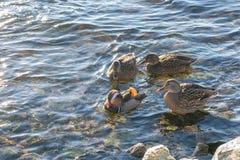 Um pato de mandarino e três patos lisos próximo Esteja na água fotografia de stock