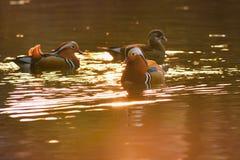 Um pato de mandarino masculino colorido Aix Galericulata Imagens de Stock