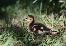 Um pato do bebê Fotografia de Stock Royalty Free