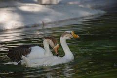 Um pato do nadador fotos de stock royalty free
