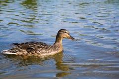 Um pato do pato selvagem em um rio Fotografia de Stock