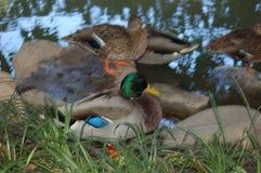 Um pato do pato selvagem entre muitos em uma lagoa perto da grama foto de stock royalty free