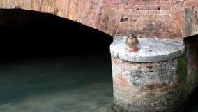 Um pato livre vídeos de arquivo