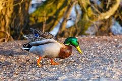 Um pato masculino est? na borda do lago fotografia de stock royalty free