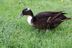 Um pato na grama verde Imagens de Stock
