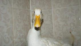 Um pato no banheiro fotos de stock