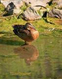Um pato que está ainda em uma lagoa imagens de stock