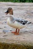 Um pato que está no caminho Fotografia de Stock Royalty Free