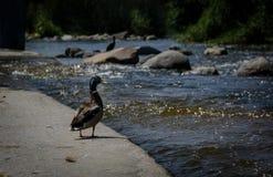 Um pato que olha o rio Imagens de Stock Royalty Free