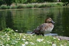 Um pato que recolhe algum sol Fotografia de Stock
